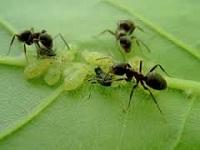 чеснок против тлей и муравьев