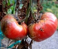 чеснок против фитофторы томатов