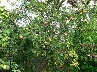 Чеснок против болезней и вредителей плодовых деревьев и кустарников