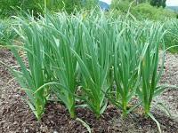 чеснок защитник сада и огорода