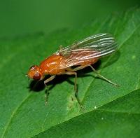 чеснок против морковной мухи