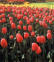 чеснок и тюльпаны