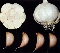 луковица чеснока