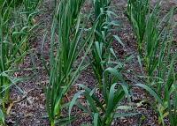 выращивание озимого чеснока