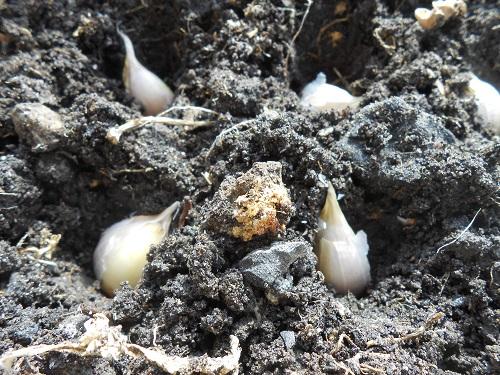 Почему на посадку нужно отбирать самые лучшие чесночные луковицы?