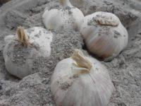 Хранение чеснока в растительной золе