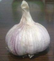 Сорт чеснока Харьковский фиолетовый
